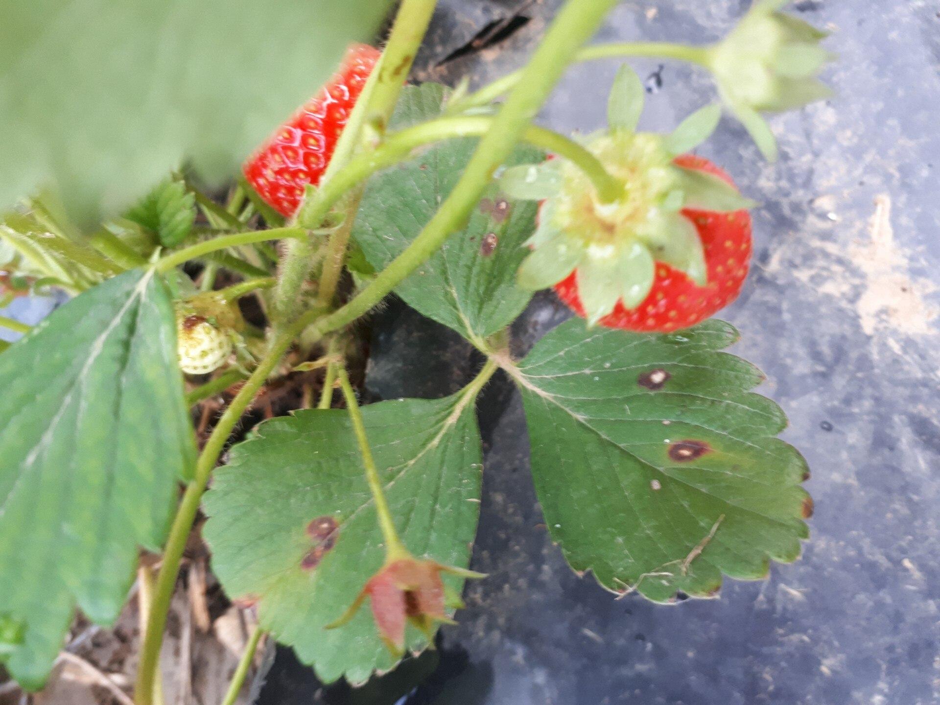 hogyan kell kezelni az eperlevél vörös foltjait