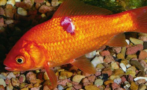 Vörös folt az aranyhal hasán. 18 comments