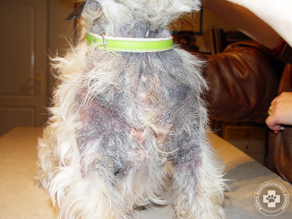 vörös foltok a yorkshire terrier bőrén