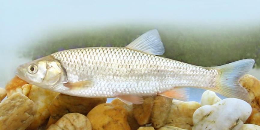 milyen halak kezelik a pikkelysmr chaga gomba hogyan kell kezelni a pikkelysmr
