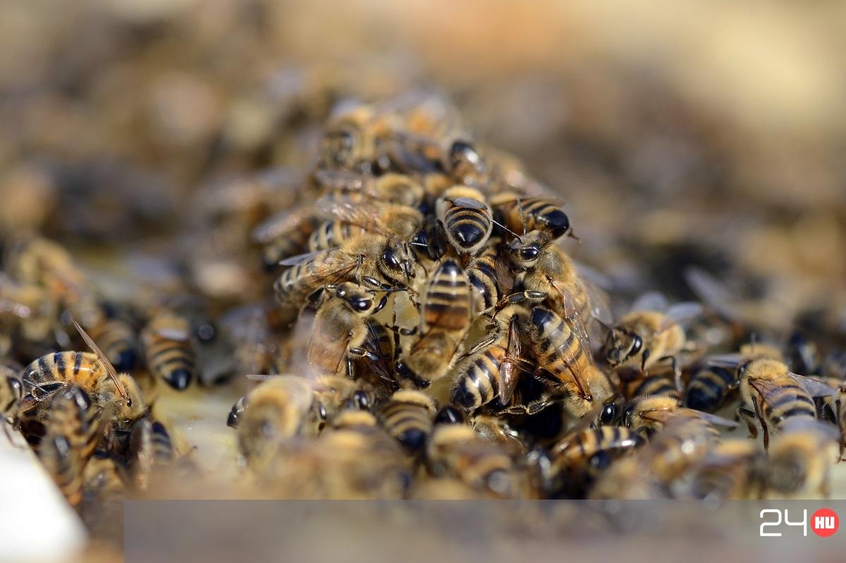 pikkelysömör kezelése méhekkel